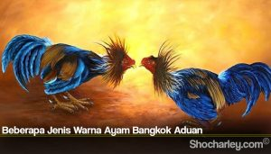 Beberapa Jenis Warna Ayam Bangkok Aduan