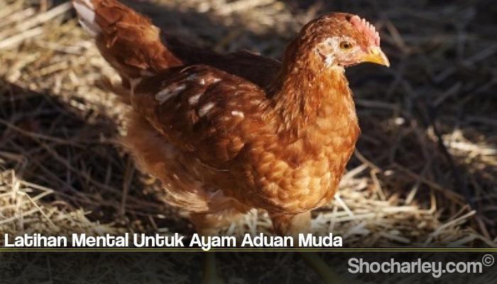 Latihan Mental Untuk Ayam Aduan Muda