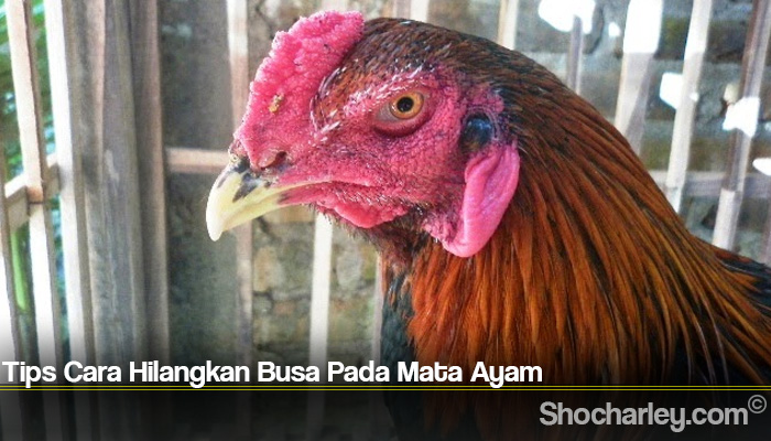 Tips Cara Hilangkan Busa Pada Mata Ayam