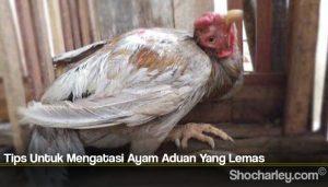 Tips Untuk Mengatasi Ayam Aduan Yang Lemas